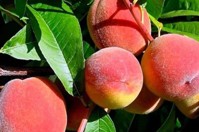 История возникновения персиков из Воронежа