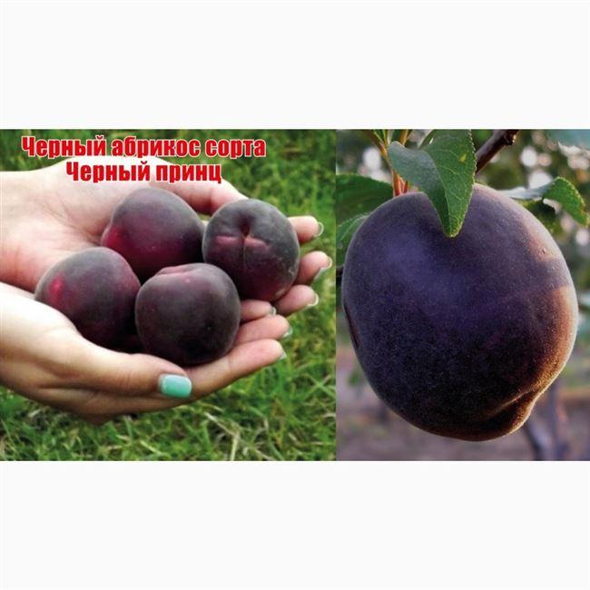 История выращивания абрикоса Чёрный принц