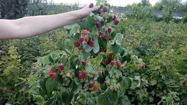 История выращивания малины Джоан Джей