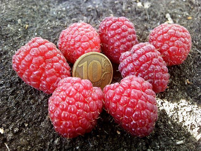 История выращивания малины Шапка Мономаха