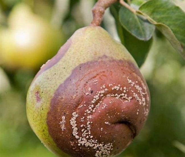 Как бороться с плодовой гнилью на грушах