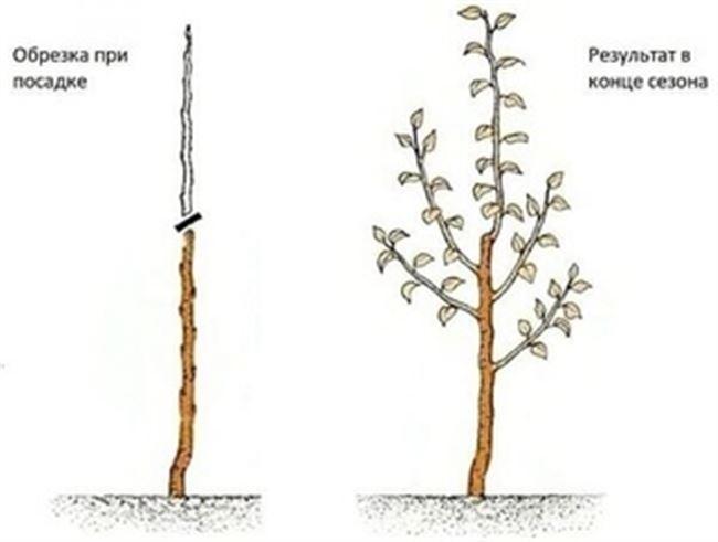 Как обрезать колоновидную яблоню