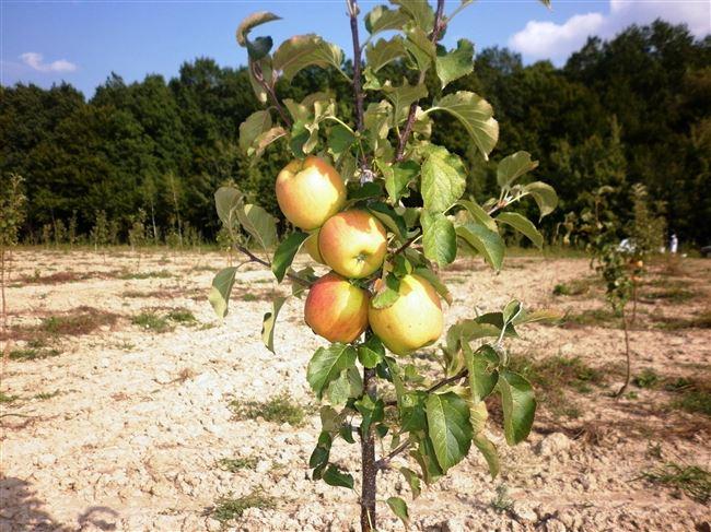Как поливать яблони