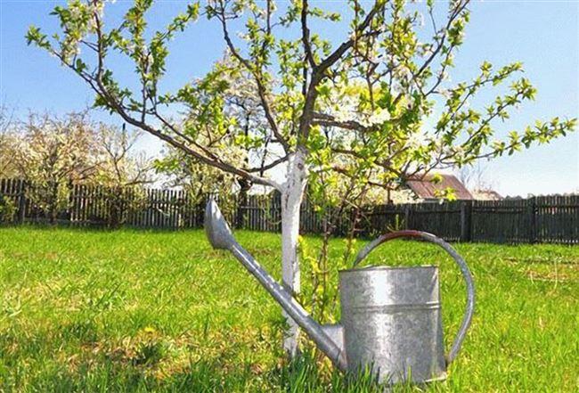 Как поливать яблони летом