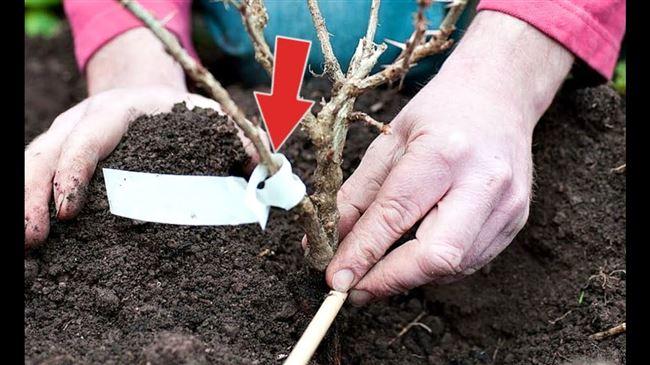 Как посадить крыжовник