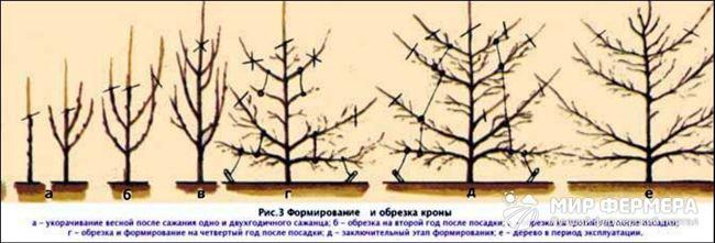Как правильно обрезать грушу и формировать крону