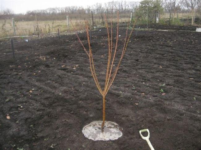 Как правильно посадить молодые деревья