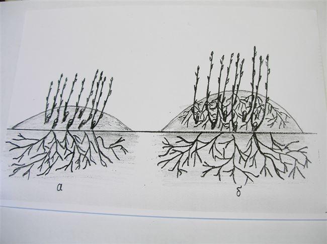 Как размножить крыжовник черенкованием весной, летом и осенью