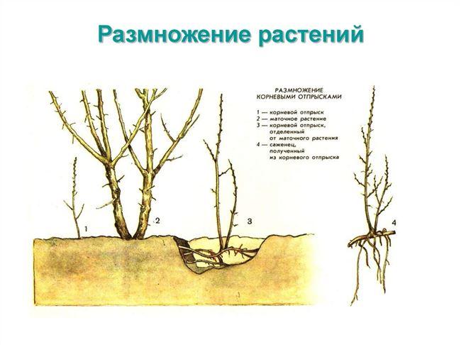 Как размножить малину корневыми отпрысками.