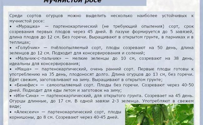 Как спасти огурцы от мучнистой росы: лучшие составы и народные средства