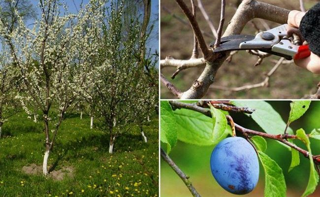 Как ухаживать за сливой: технология выращивания