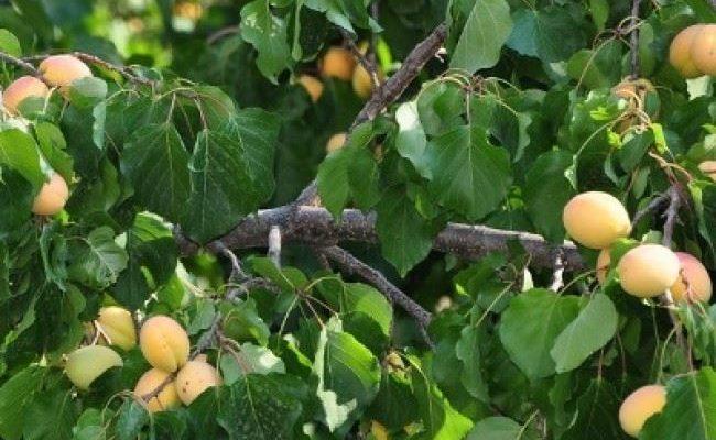 Как успешно вырастить абрикос сорта Успех