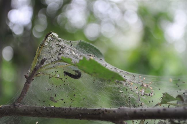 Какие болезни и вредители приводят к паутине?