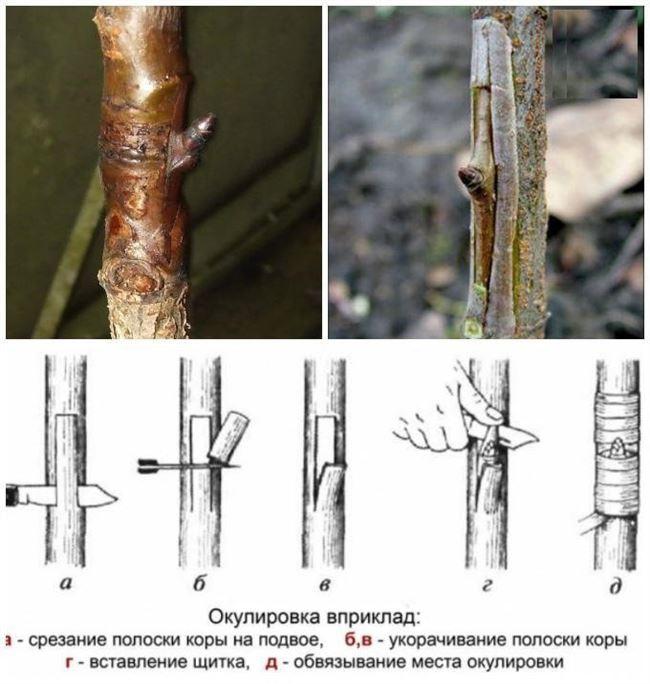 Какие деревья подходят для прививки груши: подходящие подвои