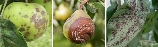 Какие растения можно сажать рядом с грушей