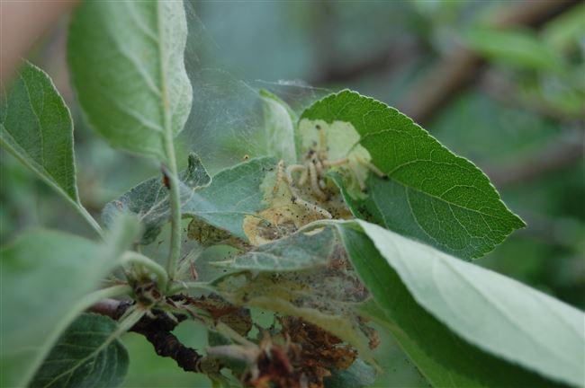 Какие сорта яблони не поражаются листоверткой