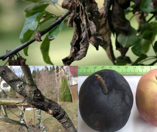 Каким сортам не страшен черный рак яблони