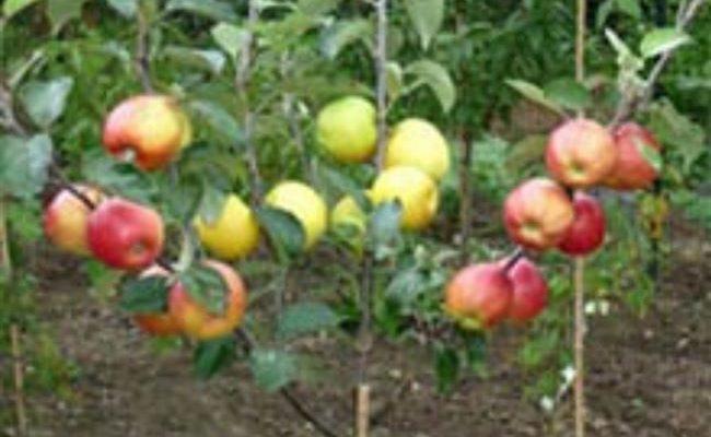 Карликовые яблони: посадка и уход весной и осенью