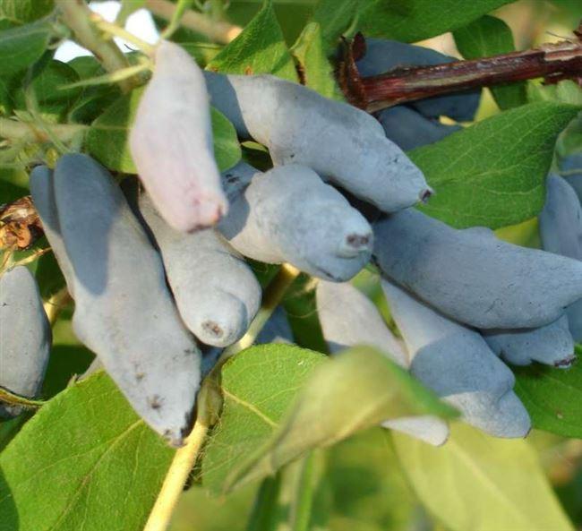Характеристика и описание жимолости «Лебедушка»