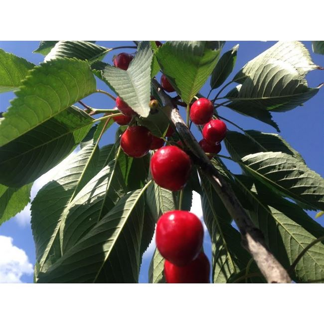 Характеристика и особенности колоновидной черешниХелена