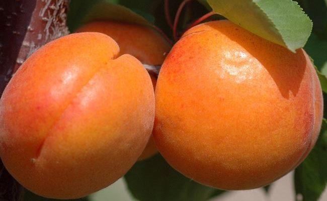 Характеристика и правила выращивания абрикоса Сибиряк Байкалова