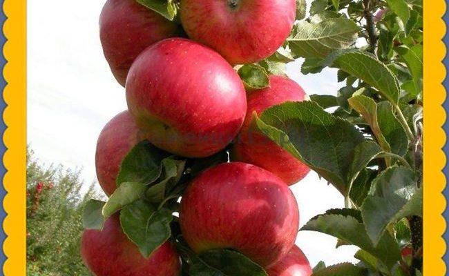 Характеристика колоновидной яблони Останкино