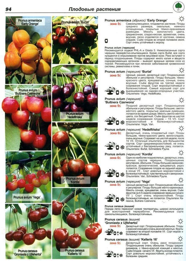 Характеристика плодов и дерева
