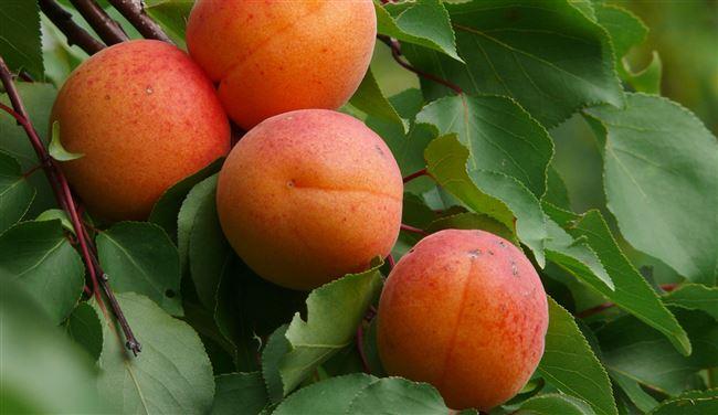Характеристика сорта абрикоса Графиня