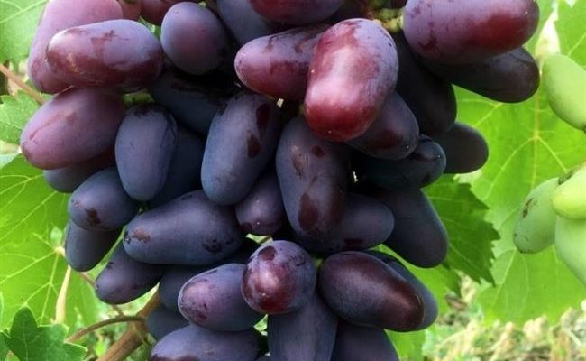 Характеристика сорта винограда «байконур»: описание, фото и отзывы о нём