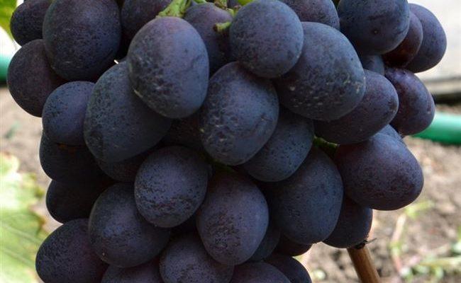 Характеристика сорта винограда «фурор»: описание, фото и отзывы о нём