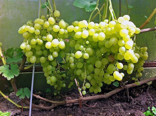 Характеристика винограда Алешенькин
