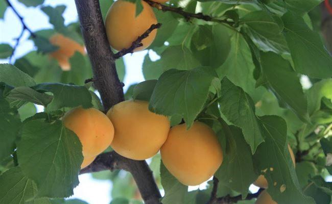 Характеристики сорта абрикосов Маньчжурский, описание морозостойкости и уход за сеянцем