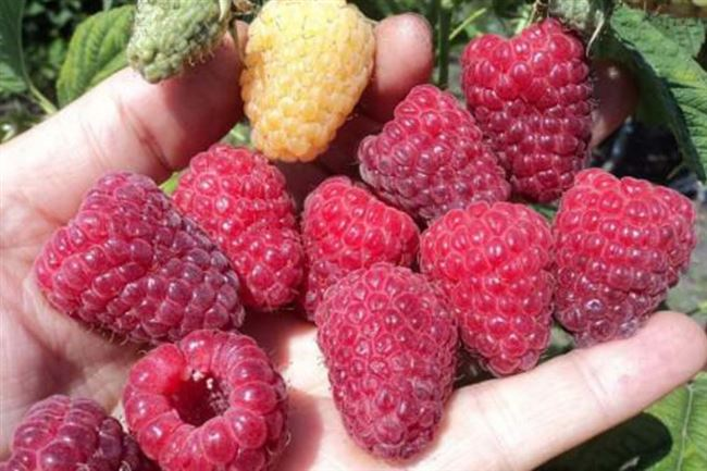 Характеристики сорта малины Кванза