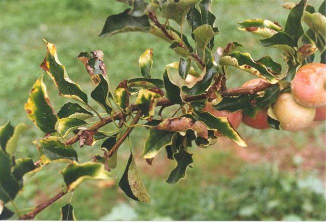 Хлороз груши с фото и их лечение
