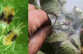 Клещ паутинный на малине: как бороться с паутиной специальными и народными средствами?