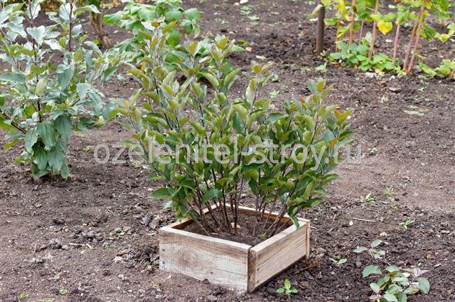 Клоновые подвои яблони или вегетативные