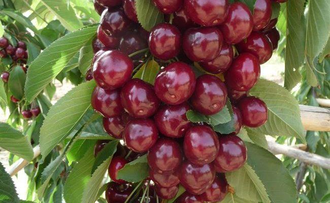 Колоновидная вишня Восторг: описание сорта + фото, урожайность
