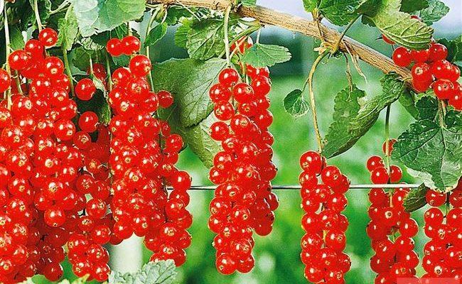 Красная смородина Сахарная: описание и характеристика сорта, достоинства и недостатки, особенности посадки и ухода