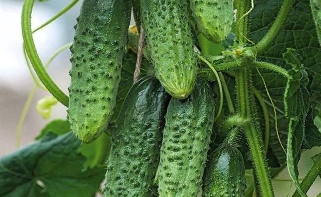 Крепкие, белошипые плоды до поздней осени — огурец Пучковый десант f1: полное описание
