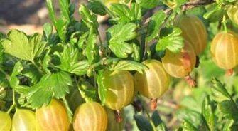 Крыжовник Английский желтый: отзывы, фото, урожайность, посадка и уход