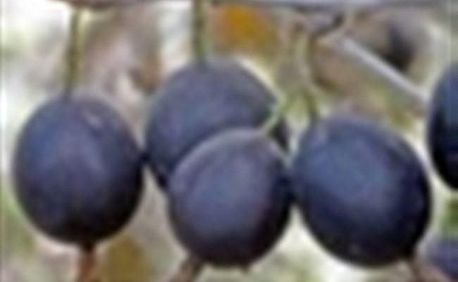 Крыжовник Арлекин: характеристика, особенности выращивания и размножения