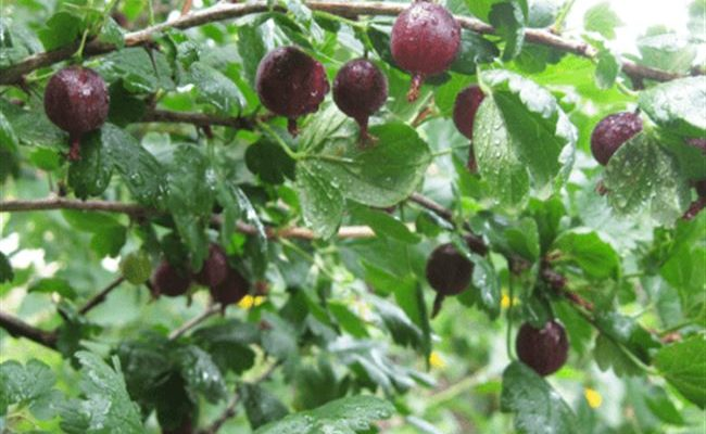 Крыжовник Черномор: отзывы, фото, урожайность, выращивание