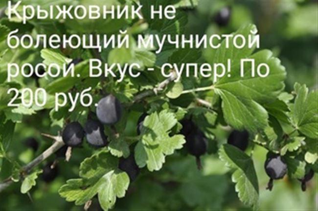 Крыжовник Черный негус: размножение сорта