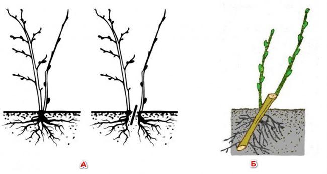 Крыжовник Казачок: размножение отводками