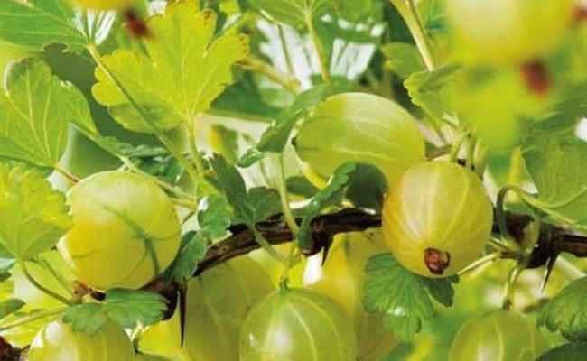 Крыжовник Мукуринес: характеристика, особенности выращивания и размножения