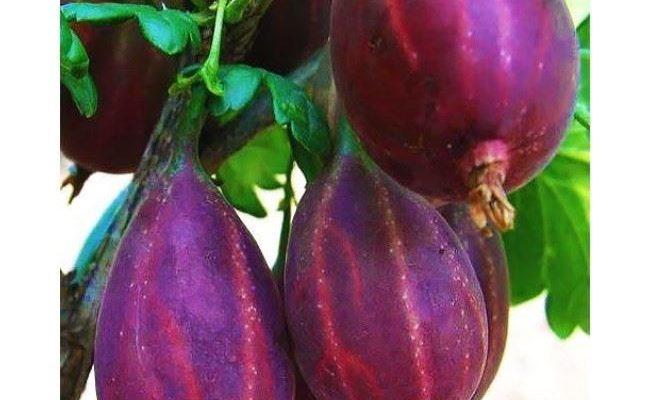 Крыжовник Серенада — описание сорта, фото и отзывы садоводов