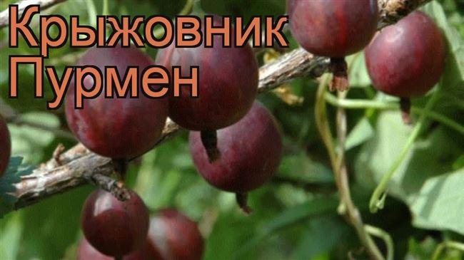 """Крыжовник обыкновенный """"Пурмен"""""""