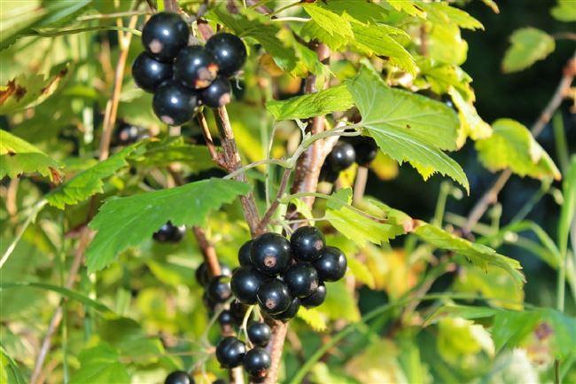 Куст и плоды