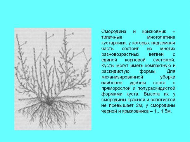 Куст и разветвленность корневой системы