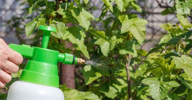 Лечение и профилактика. Как защитить растение. Меры борьбы – чем обработать и подкормить кусты